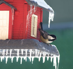 Photograph of a chickadee on an icicle covered red birdfeeder. Photo by Danielle MacDonald