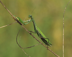 Photograph of a green praying mantis climbing a thin branch set against a yellow-green background, photo taken by Danielle MacDonald