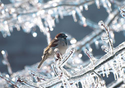 Photograph of a male sparrow sitting on a branch incased completely in thick ice. Photo by Danielle MacDonald